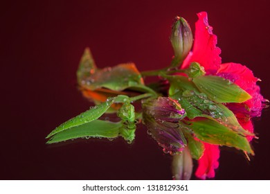 Macro photography of amazing wet bud of pink alstroemeria, lying on the mirror. Studio photography close up on a black background, using red backlighting.