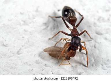 Macro Photography of Ant Mimic Jumping Spider Biting on Prey on White Floor