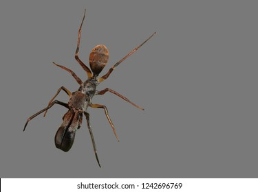 Macro Photography of Ant Mimic Jumping Spider Isolated on Gray Background with Clipping Path and Copy Space