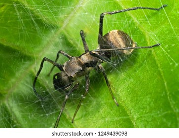 Macro Photography of Ant Mimic Jumping Spider in Web on Green Leaf