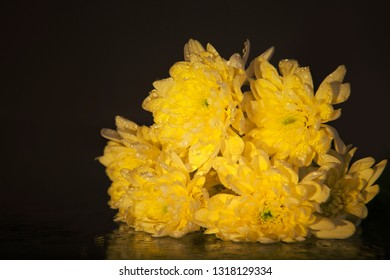 Macro photography of a beautiful bouquet of yellow chrysanthemum, lying on the mirror. Studio photography close up on a black background using the yellow backlight.