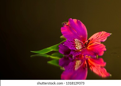 Macro photography of a beautiful bud of pink alstroemeria, lying on the mirror. Studio photography close up on a black background, using yellow backlighting.