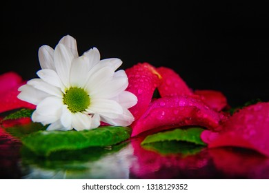 Macro photography of a beautiful bud of white osteospermum on the background of wet, pink, wet, rose petals, lying on the mirror. Studio photography close up on a black background.