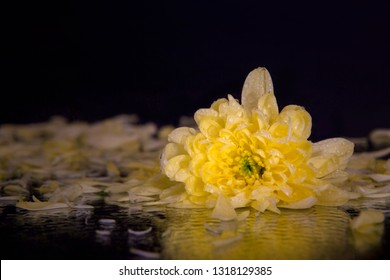 Macro photography of a beautiful bud yellow chrysanthemum, on the background of petals lying on the wet mirror. Studio photography close up on a black background.
