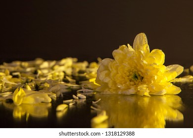 Macro photography of a beautiful bud yellow chrysanthemum, on the background of petals lying on the wet mirror. Studio photography close up on a black background using the yellow backlight.