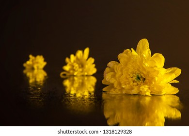 Macro photography of a beautiful buds yellow chrysanthemum, lying on the wet mirror. Studio photography close up on a black background using the yellow backlight.