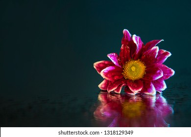 Macro photography of a beautiful, wet, bud of pink-white osteospermum, lying on the mirror. Studio photography close up on a black background, using turquoise backlighting.