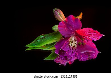 Macro photography of a beautiful wet bud of pink alstroemeria, lying on the mirror. Studio photography close up on a black background.