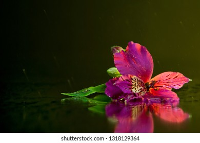 Macro photography of a beautiful wet bud of pink alstroemeria, lying on the mirror against the backdrop of flying drops. Studio photography close up on a black background, using yellow backlighting.
