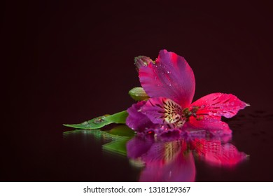 Macro photography of a beautiful wet bud of pink alstroemeria, lying on the mirror. Studio photography close up on a black background, using red backlighting.