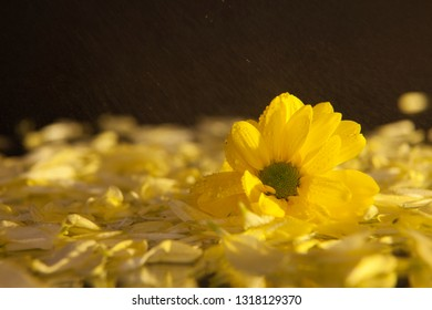 Macro photography of a beautiful, wet, bud of yellow osteospermum, on the background of petals lying on the wet mirror. Studio photography close up on a black background, using yellow backlighting.