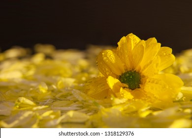 Macro photography of a beautiful, wet, bud of yellow flower, on the background of petals lying on the wet mirror. Studio photography close up on a black background, using yellow backlighting.