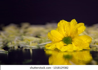 Macro photography of a beautiful, wet, bud of yellow osteospermum, on the background of petals lying on the wet mirror. Studio photography close up on a black background.