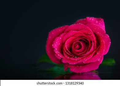 A macro photography of a beautiful, wet, pink, rose, lying on the mirror. Studio photography close up on a black background.