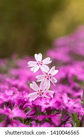 Macro photography: a bed of purple flowers featuring three pink flowers on the forgroung