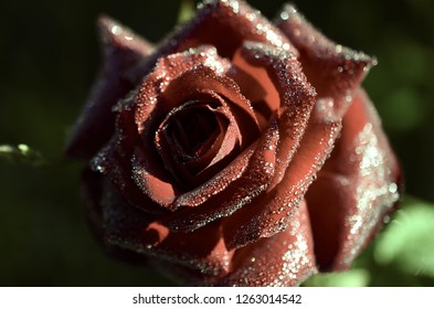 Macro Photography of blooming Rose with morning dew. Natural lighting, maco dew drops on fresh red rose. Lush colors, crisp bokeh effect.