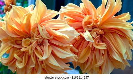 Macro photography of a couple of flamethrower dahlia flowers.