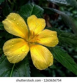 Macro photography in Damiana flower