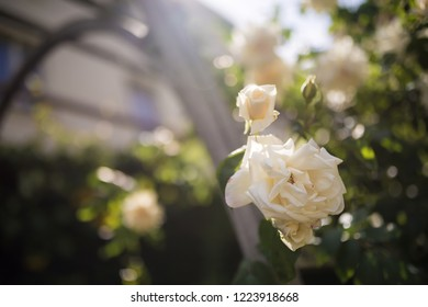macro photography or detail of roses, in the garden, in the background leaves and light that illuminates the atmosphere, beautiful scent, gift and pleasure for a woman
