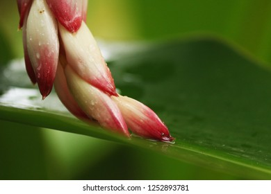 Macro photography of flowered plant Porcelain lily with raindrops in wild environment, Ilhabela, Brazil.