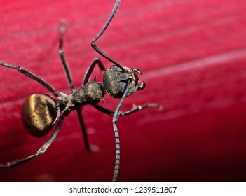 Macro Photography of Golden Weaver Ant or Polyrhachis Dives on Red Leaf