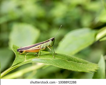 Macro photography of Grasshopper on green leaf in the forest, Grasshopper a plant-eating insect with long hind legs that are used for jumping
