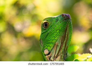 Macro photography of an iguana smiling in a garden