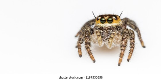 Macro photography a insect Jumping Spider - Salticidae isolated on white background.