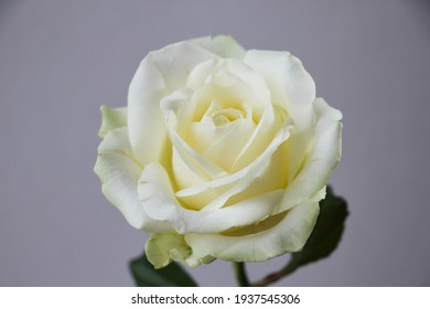macro photography of a isolated white rose on a gray background, studio shoot