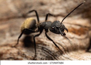 Macro photography of a latin american carpenter ant taking a rest over a wood