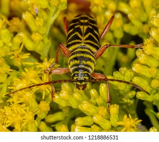 Macro photography of a megacyllene robiniae insect on its favorite plant, the Solidago, goldenrods in Montreal, Quebec, Canada on a summer day.