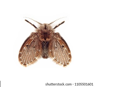 Macro Photography of Moth Fly Isolated on White Background with Space