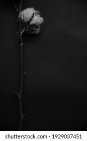 macro photography of natural cotton, beautiful blurring and dark abstraction in the background, black and white photo of dry plants
