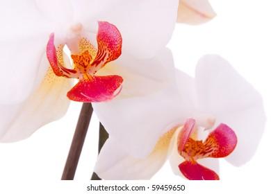 Macro photography of phalaenopsis flower.