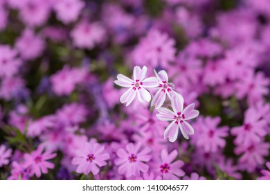 Macro photography: a pink bed of flowers featuring three flowers on the forgroung
