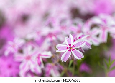 Macro photography: a pink bed of flowers featuring a single flower on the forgroung