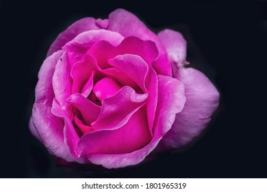 macro photography of a pink rose