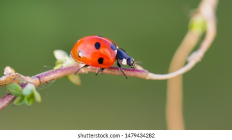 Macro photography. A small beetle of the family Coccinellidae commonly known as ladybugs or ladybirds. Beautiful Coccinella septempunctata, red seven-spot insect is the most common ladybird in Europe.