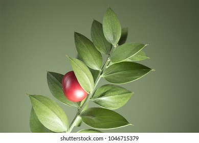 Macro photography of a small branch of butcher's broom (Ruscus aculeatus) with a red berry, on a green background