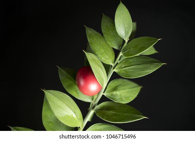 Macro photography of a small branch of butcher's broom (Ruscus aculeatus) with a red berry, on a black background