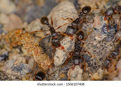 Macro photography of tetramorium immigrans ants carrying rocks out of their nest.