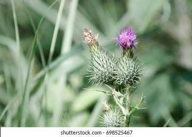 Macro photography, thistles growing in the forest.