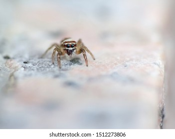 Macro photography of a very small common european jumping spider (salticidae) standing on a wall. This cute and tiny spider has big eyes in the front of its head.