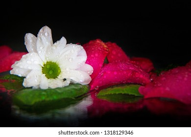 Macro photography of a wet bud of white osteospermum on the background of wet, pink, wet, rose petals, lying on the mirror. Studio photography close up on a black background.