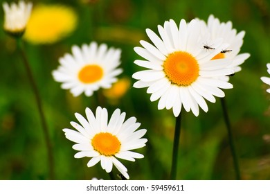 Macro photography of wild daisies blooming on a meadow.