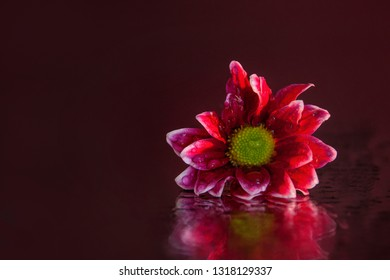 Macro photography of a wonderful, wet, bud of pink-white osteospermum, lying on the mirror. Studio photography close up on a black background, using red backlighting.