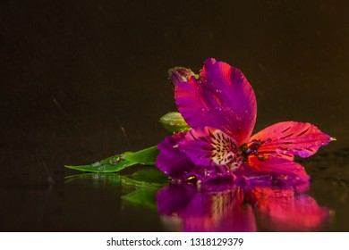 Macro photography of a wonderful wet bud of pink alstroemeria, lying on the mirror against the backdrop of flying drops. Studio photography close up on a black background, using yellow backlighting.