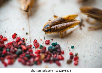 Macro picture of a cockroach crawling to the bait