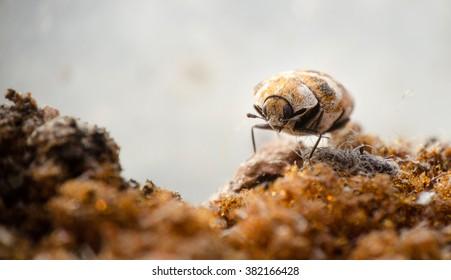 Macro picture of a varied carpet beetle walking on a old sponge