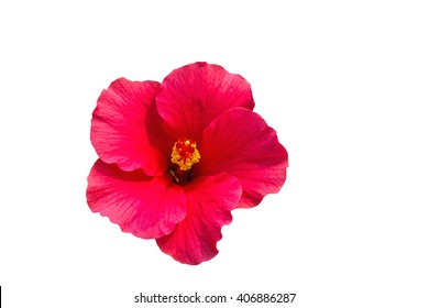 Macro of pink  China Rose flower  isolate on white background.Saved with clipping path